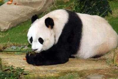 中央政府决定上半年再赠送一对熊猫给香港政府