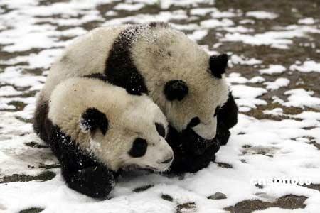 赠台大熊猫情况良好 大陆希望大熊猫早日赴台