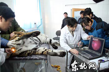 我国进行首次东北虎人工授精 有助解救濒危动物