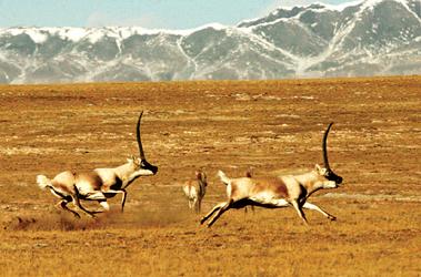 在可可西里无人区拍藏羚羊交配(组图)