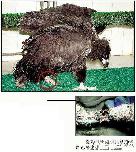 受伤秃鹫是否应该安乐死(组图)