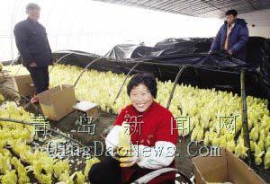 奥运蔬菜菊苣首次上市 成本每公斤6元以上(图)
