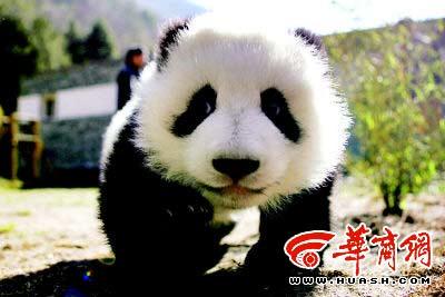 重庆市动物园7岁大熊猫娅娅顺利