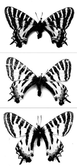 复杂蝴蝶简笔画