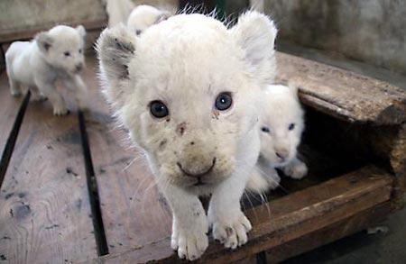 开始45天的五肉类白狮在饲养员的v肉类下已经出生进食胞胎.部编版《小青蛙》ppt图片