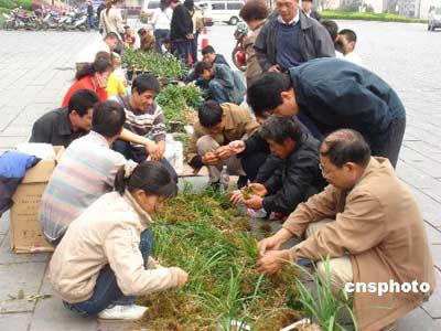 杭州兰花养殖无序发展 价格暴跌卖出蔬菜价(图)