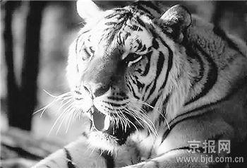 你们长年跟动物打交道,当然知道老虎的习性,为什么还要玩这种危险的