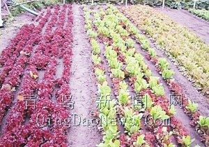 青岛奥运蔬菜培育基地的一角