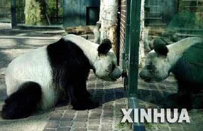 """3月27日,在德国首都柏林动物园,雄性大熊猫""""宝宝""""坐在熊猫馆内形影相吊。26日,中国于1995年送给德国的雌性大熊猫""""嫣嫣""""在柏林动物园去世。新华社记者吴晓凌摄"""