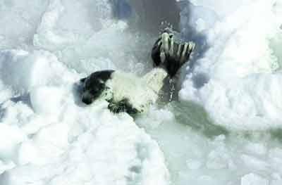 一只小海豹正扒着一块浮冰,拼命往上爬。面对破碎的家园,它的命运没有悬念。