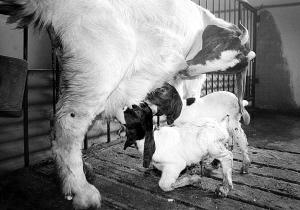 世界首例胚胎克隆波尔山羊产子