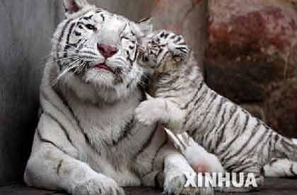 """4月4日,在南京红山动物园,母虎""""辛塔""""和它的""""虎宝宝""""玩耍。"""