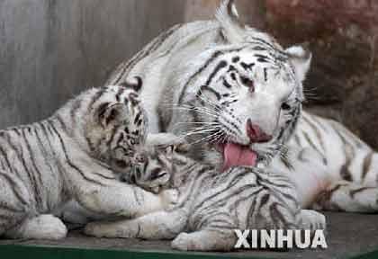 """母虎""""辛塔""""和它的""""虎宝宝"""""""