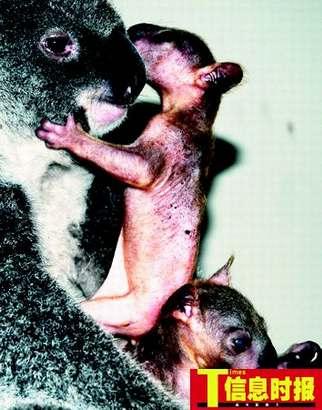 前天,考拉淘淘产下的一对双胞胎双双顺利出袋,全球唯一一对考拉双胞胎正式宣告存活。陆明杰 摄