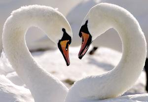 两只天鹅在一起摆出的心形图案,常常被当成爱情的象征.-澳专家 天图片