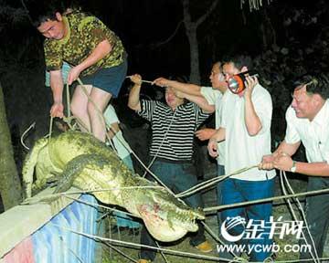 中弹鳄鱼被拉上来 《南国早报》供图