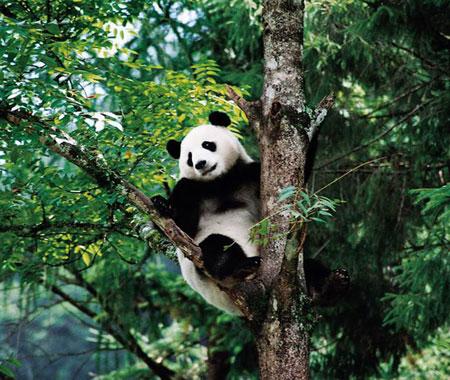 大熊猫的故乡