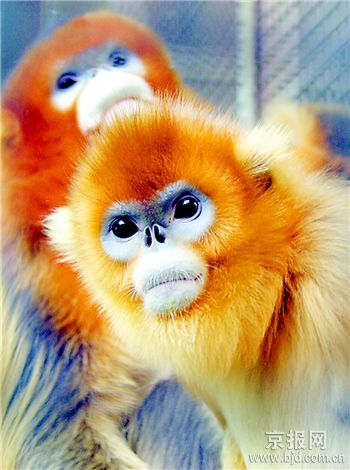 北京动物园两对金丝猴将赴韩国展示(图)