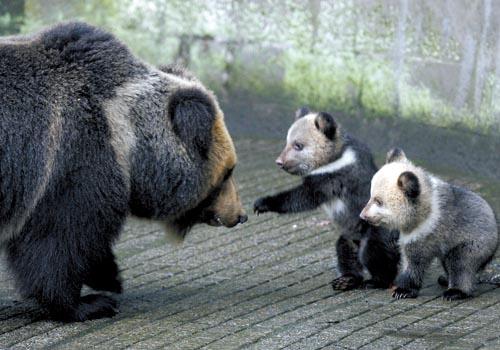 马年宝宝犯几月_昨日,市动物园,马熊宝宝正与妈妈一起嬉戏 记者 邹飞 摄