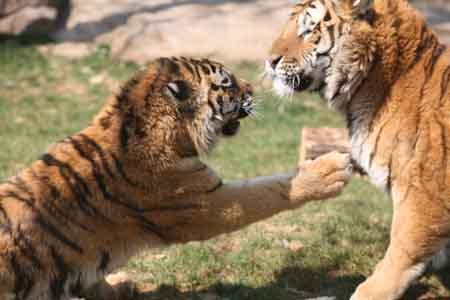 大连森林动物园游客买活鸡可投喂猛虎(图)