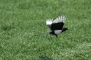 图文:华彬北京公开赛收杆 可爱小鸟也来凑热闹