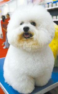 淑女造型的狗狗