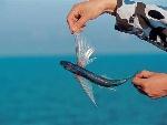 西沙常见飞鱼