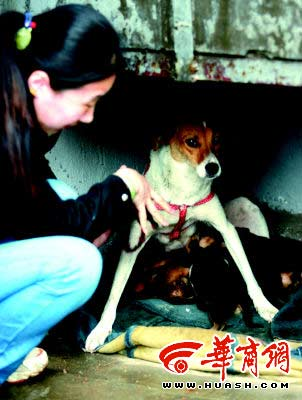 流浪犬产下了7只小狗,希望找一个新家 本报记者王警摄