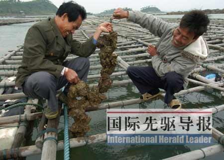 中越边境沿海的归难侨靠养殖海产品,成功实现了谋生方式的转变。 何丰伦/摄