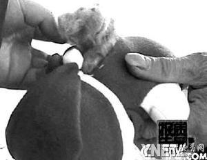 ■黑心棉制成的娃娃