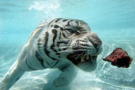 """游乐场中的""""发现王国""""动物园里,一只名叫欧丁的孟加拉虎正在水中寻食."""