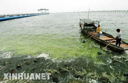 5月31日,无锡市自来水总公司南泉水源厂的工作人员在取水口附近水域打捞蓝藻。