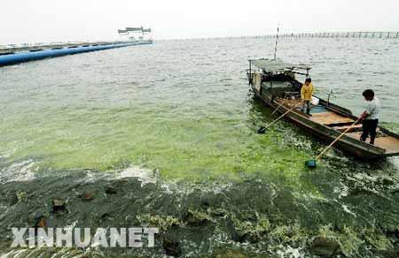 5月31日,无锡市自来水总公司南泉水源厂的工作人员在取水口附近水域打捞蓝藻。新华社记者 韩瑜庆 摄