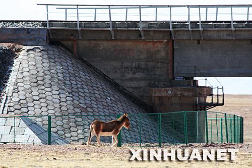 在青藏铁路DK1042+878处,一只藏野驴从桥下穿过(6月1日摄)。