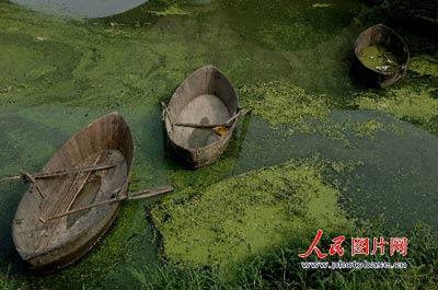 6月4日,巢湖的岸边漂浮着大量的浮萍
