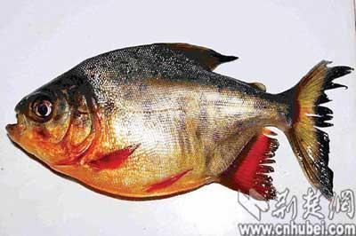 武汉湖北发现食近亲学名淡水组图白鲳(孕妇)老树杜仲炖猪腰人鱼可以喝吗图片
