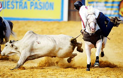 哥伦比亚波哥大,当地牛仔竞技比赛中,一名牛仔正试图拖住一头蛮牛。