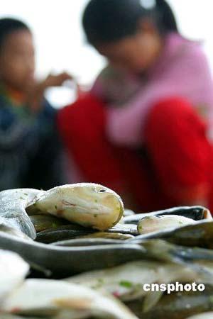 重庆荣昌安富镇古桥村一社农民在清理濑溪河古桥段河道网箱里的死鱼