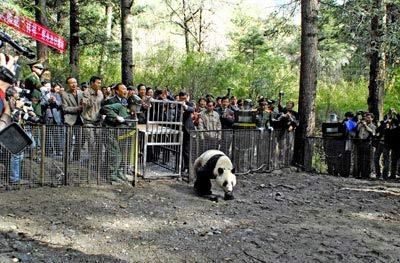 """2006年4月28日,在众人的祝福声中,""""祥祥""""告别了圈养生涯,独自迎接野外生存的挑战。"""