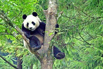 世界上第一只经野化训练的圈养大熊猫放归自然后,付出了死亡的代价。