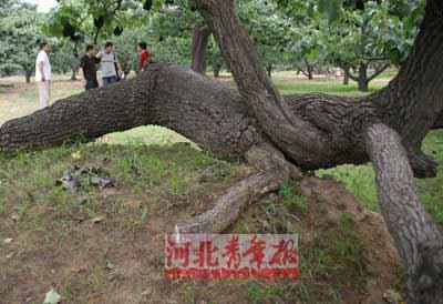 ■有的古树发生倒伏,但生命力依然顽强