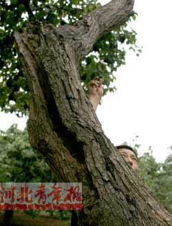 ■有的古树中间开裂腐朽