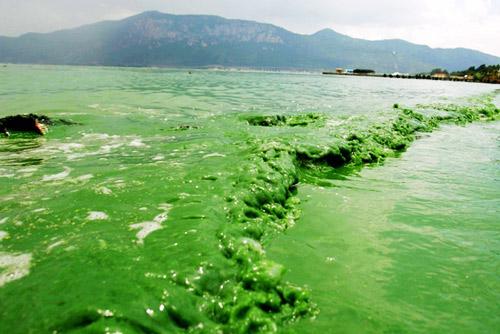 2007年6月24日,昆明滇池海埂一线的岸边,蓝藻大量繁殖,让湖水绿浪翻滚,远处是著名的睡美人西山。