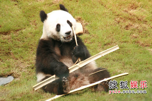大熊猫啃竹子