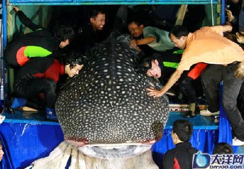 记者拍摄的现已入住广州动物园的鲸鲨。(资料图片)。记者王燕 摄