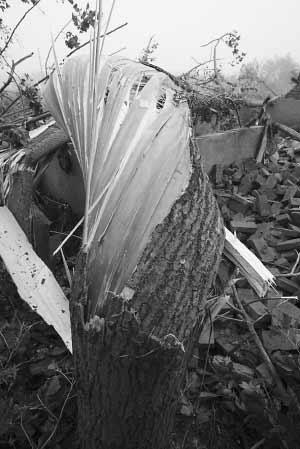"""大树都被龙卷风""""卷断"""" 本版摄影 陈意俊"""