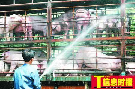 往广州运猪前,工人们要先为生猪洗洗澡、降降温。
