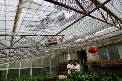 农家花窖被砸 影响君子兰正常生长图片