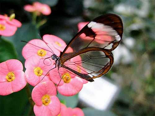 世界上 蝴蝶/世界上有一种蝴蝶如水晶般透明[组图]