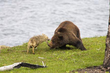 密林野兽争夺 群狼围攻棕熊全过程(组图)